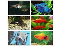 x14 Tropical Bundle | Angelfish | Pleco | Platies | Swordtails | Fighter | Shark | Rasboras