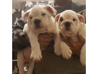 Ready now 2 beautiful English bulldog puppies