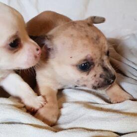 Stunning litter of peddigree not kc reg Chihuahua pups for sale