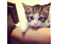 Beautiful 8 Week Old Tabby Female Kitten