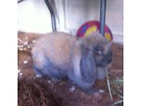 French Lop Doe (spayed)