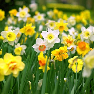 15 DWARF DAFFODIL NARCISSUS MIX GARDEN BULB AUTUMN GROWING SPRING FLOWERING CORM - Grow Narcissus Bulbs