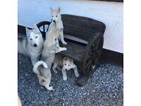Siberian Husky pups For Sale