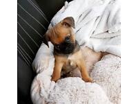 Chug Puppy Boy 9 Weeks Old Pug/Chihuahua Wormed & Had Needles Ready To Go