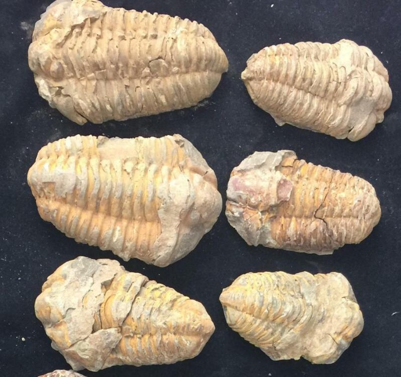 CALYMENE TRILOBITE FOSSIL FROM MOROCCO