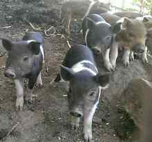 MINATURE PIGLETS FOR PET HOMES Londonderry Penrith Area Preview