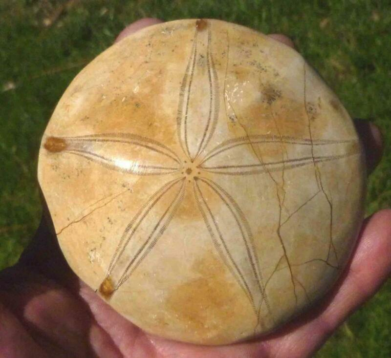 """258.8g A+ Excellent Clypeasteroid Fossil Perfect Star Sand dollar 3 & 5/8"""""""