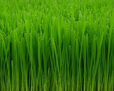 Seeds 4 Pounds Wheatgrass Catnip Substitute Wheat Grass Cat Dog Pets Pasto Trigo