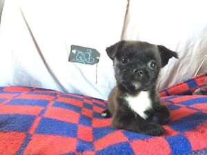 Super sweet tiny Shih-Chi puppy