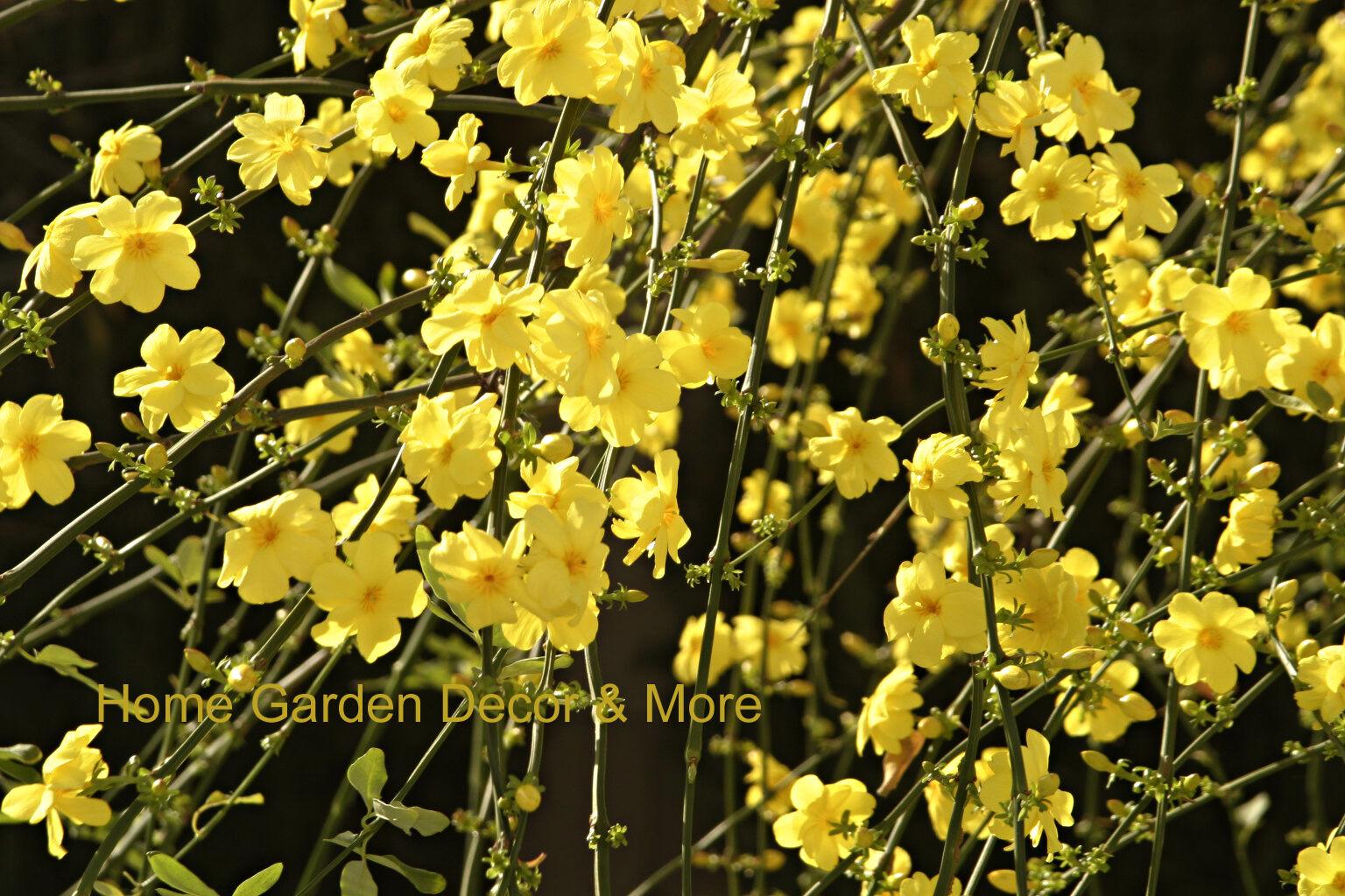 Chinese Bright Yellow Flowers Winter Jasmine Vine Shrub Live Rooted