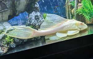 Large Albino Pleco (26cm)