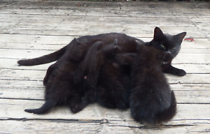 BLACK KITTENS FOR SALE