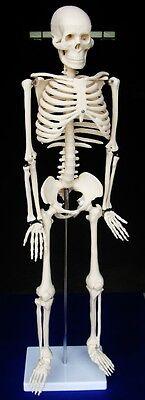 Model Anatomy Professional Medical Skeleton 34 85 Cm Medium It-002 Artmed