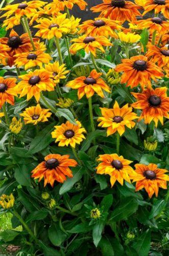 60 Samen Sonnenhut mehrjährig winterhart