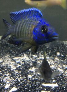Flametail cichlid