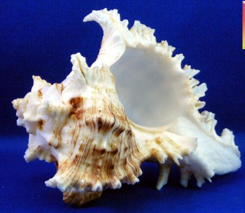 1 Pacific Murex Ramosus Shell (Ram