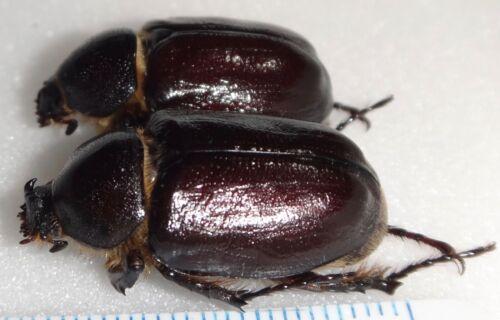 Megasoma sleeperi Pair California #MS-1 Beetle Insect Entomology Dynastes WC