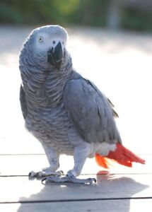 African Grey Parrot (pair or one)