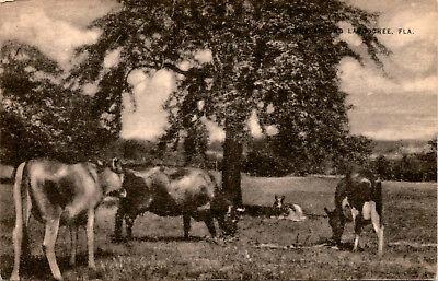 Cows Cattle Scene Around Lacoochee Florida  Vintage Postcard F23