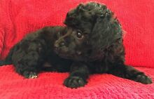 Adorable toy poodle puppies Morisset Lake Macquarie Area Preview