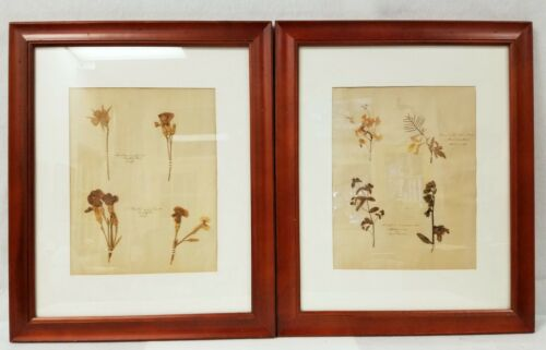 Large Pair of Antique Framed Botanical Flower Pressed Plant Herbarium Specimens