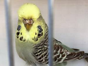 Club Rung budgies from English bloodlines from $30 Ferntree Gully Knox Area Preview