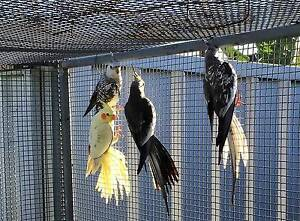Cockatiels with a big cage Engadine Sutherland Area Preview