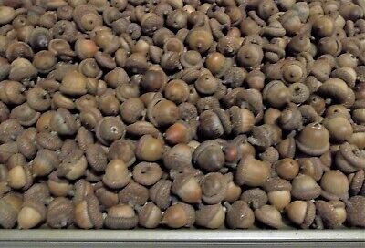 50 Dried Acorns With Caps On Real Michigan Oak Tree Art-Craft Fall Project