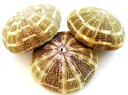 "6 Large Alfonso Gator Sea Urchins 3-4"" Coastal Beach Cottage Crafts Airplants"