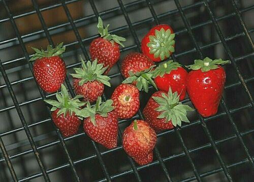 Bag of 12 Artificial Strawberries Decorative Fake Faux Fruit Berries Plastic