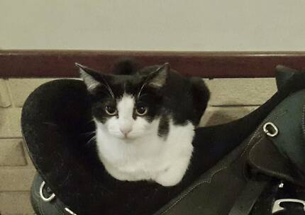 """Chloe"" Adoption -  Perth Animal Rescue - Cat / Kitten"