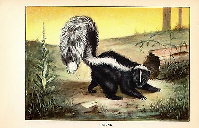 "1926 Vintage ANIMALS ""SKUNK"" GORGEOUS COLOR Art Print Lithograph"