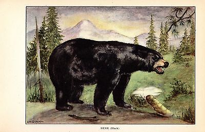 "1926 Vintage ANIMALS ""BLACK BEAR"" GORGEOUS COLOR Art Print Lithograph"