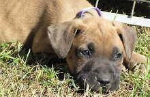 Beautiful Great Dane, Bull Arab, Mastiff X Rutherford Maitland Area Preview