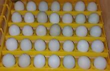 Lavender Araucana Fertile Eggs Para Hills West Salisbury Area Preview