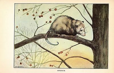 "1926 Vintage ANIMALS ""OPOSSUM"" GORGEOUS COLOR Art Print Lithograph"