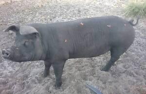 Pig for sale. Berkshire cross Donnybrook Donnybrook Area Preview