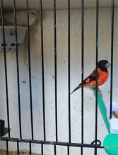 Red Siskins and canarys Rockdale Rockdale Area Preview
