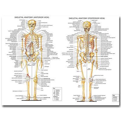 - Skeletal System Poster