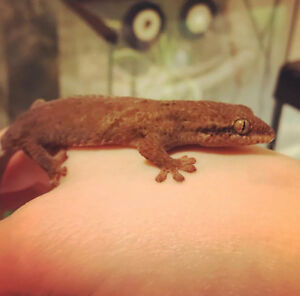 (Fish Scaled Gecko) Geckolepis Maculata - Male