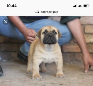 Looking For A Boerboel Pup Dogs Puppies Gumtree Australia