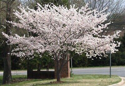 Yoshino Flowering Cherry Blossom -
