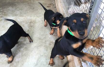 Rotti X Heeler X Kelpie (pups) are ready for adoption