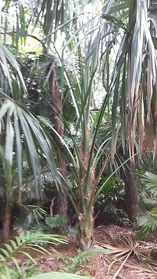 Sabal mauritiiformis palm plant tree 7 gal. LOCAL PICK UP ONLY, used for sale  Saint Petersburg