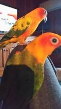Wanted Female Sun or Jenday Conure Belair Mitcham Area Preview