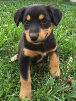Kelpie x border collie male  Boonah Ipswich South Preview