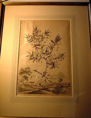 !! Kupferstich Stahlstich Myrtus Citronata Joseph Mulder !! gerahmt !! online kaufen