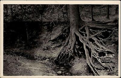 Buckow märkische Schweiz Brandenburg DDR s/w AK ~1950/55 Teufelseiche Baum Eiche