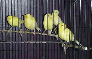 CANARIES / CANARY FOR SALE. Happy Healthy Clean Aviary Birds. Millfield Cessnock Area Preview