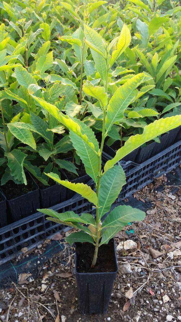 N.8  Piante di castagno di anni uno albero (foto reali) altezza cm 90/100
